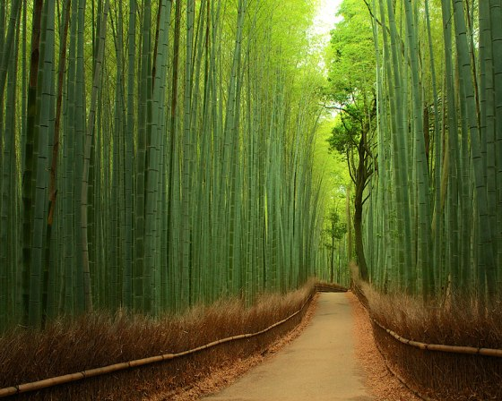 Bamboo forest_Japan