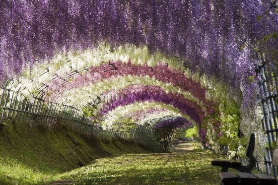 Wisteria Flower tunnel_Japan